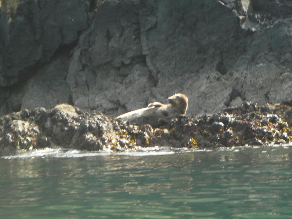 Sea Kayaking with Seals IMage