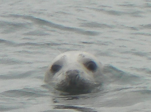 Atlantic Grey Seal Image