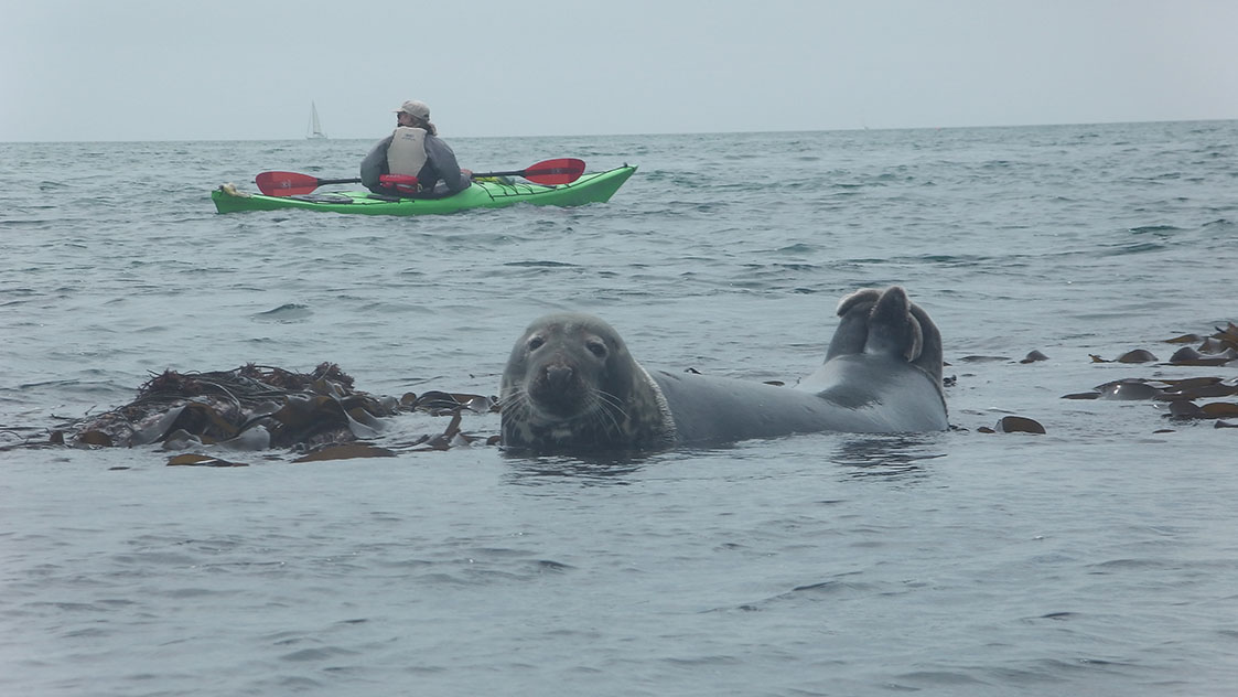 Sea kayaking with seals in South Devon Image